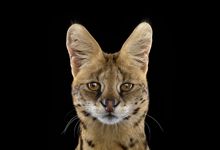I-Create-Studio-Portraits-of-Exotic-Animals-Looking-Directly-Into-the-Camera12__880