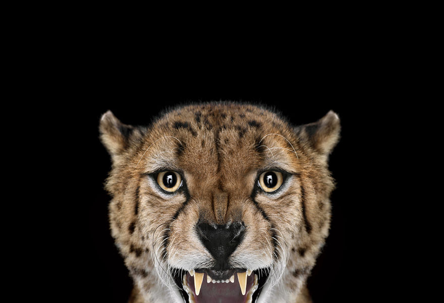 I-Create-Studio-Portraits-of-Exotic-Animals-Looking-Directly-Into-the-Camera4__880